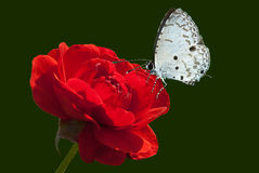 Rose and butterfly Stock Photography