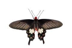 Rose Butterfly comum Fotos de Stock Royalty Free