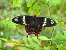 Rose Butterfly cremisi Fotografie Stock Libere da Diritti