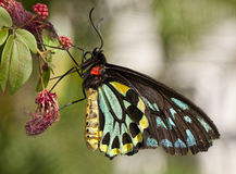 Rose butterfly (ornithoptera priamus) Royalty Free Stock Images