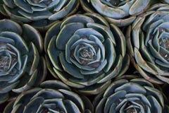 Rose Cactus Flower Stock Afbeelding