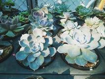 Rose cactus stock image
