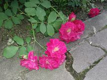 Rose cadute immagine stock