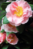 Rose camellias Royalty Free Stock Photos
