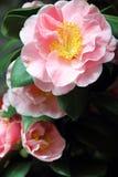 Rose camellias Royalty Free Stock Photos