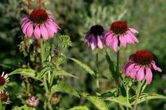 Rose camomile Stock Photo