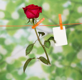 The rose and card hanging Stock Images