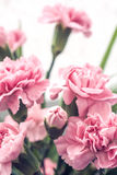 Rose carnation stock photography