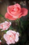 Rose and Carnations. An exquisite pink rose shot with soft focus with matching carnations Royalty Free Stock Photo
