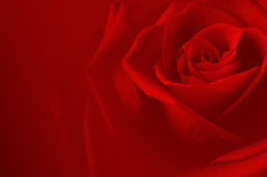 Rose carsd. Beautiful romantic background with rose Stock Image