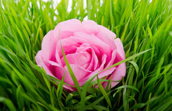 Rose in the center of the composition. Pink rose on a green grass isolated on white background Stock Image