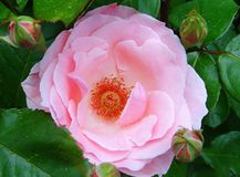 Rose centifolia Muscosa. This rose with many pink petals definitely delights everyone`s eyes. They bloom once a year and have a strong smell. It is adorable the Royalty Free Stock Photos