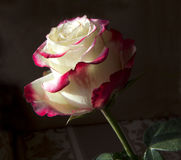 The rose. For centuries, the rose was a symbol of beauty, with this flower was made to compare the beauty of the woman Royalty Free Stock Photo