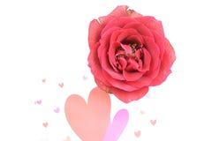 Rose cerca de corazones en el fondo blanco Imagen de archivo libre de regalías