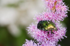 Rose chafer Stock Photography
