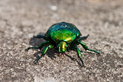 Rose chafer. On the stone Royalty Free Stock Photography