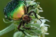 Rose chafer. Very colourful rose chafer on a flower stock images