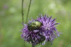 Rose chafer. (Cetonia aurata)  on the flower Royalty Free Stock Photos