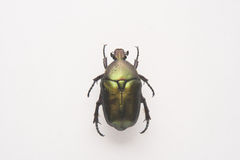 Rose chafer. Beetle Royalty Free Stock Image