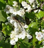 Rose chafer on apple blossoms Royalty Free Stock Photo