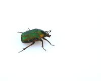 Rose Chafer beetle. One green Rose Chafer beetle isolated on a white background Stock Images