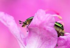 Rose chafer beetle Cetonia aurata in Czech Republic stock photos