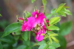Rose Chafer Beetle Infestation destructiva en John Cabot Shrub R Fotos de archivo
