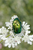 Rose chafer / Cetonia aurata Stock Photos