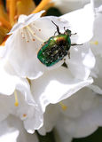 Rose chafer (Cetonia aurata) Royalty Free Stock Images