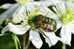 Rose chafer, cetonia aurata Royalty Free Stock Photo