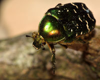 Rose chafer (Cetonia aurata) beetle close-up, with good view of hairs and eye Stock Photo