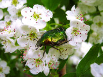 Rose chafer (Cetonia aurata) beetle closeup on a branch of hawthorn blossom Royalty Free Stock Image