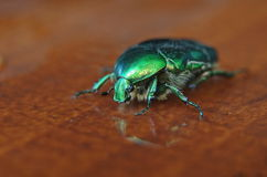 Rose chafer (Cetonia aurata) beetle Stock Photo