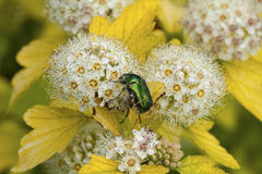 Rose chafer. Cetonia aurata, called the rose chafer or the green rose chafer beetle Stock Images