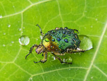 Rose chafer (cetonia aurata) Stock Photo