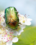 Rose chafer Royalty Free Stock Images