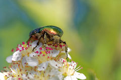 Rose chafer Royalty Free Stock Photo