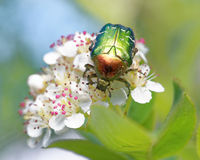 Rose chafer. (Cetonia aurata)  feeding on flowers of chokeberries Royalty Free Stock Photos