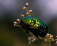 Rose chafer, cetonia aurata Stock Photos
