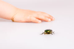 Rose chafer. (cetonia aurata) isolated with childes hand Stock Photos