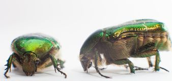 Rose chafer (Cetonia aurata) isolated Royalty Free Stock Photography