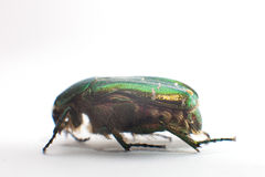 Rose chafer (Cetonia aurata) isolated Stock Images