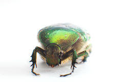 Rose chafer (Cetonia aurata) isolated Royalty Free Stock Photos