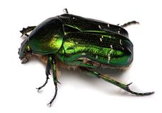 Rose chafer ,cetonia aurata isolated on white Stock Images