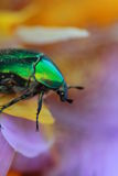 Rose chafer (cetonia aurata). A kind of insects named beetle. Beetle Protaetia Stock Image