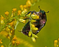 Rose chafer, Cetonia aurata Stock Photo
