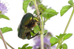 Rose chafer, Cetonia aurata, on plant Royalty Free Stock Image