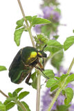 Rose chafer, Cetonia aurata, on plant Stock Image
