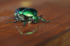 Rose chafer (Cetonia aurata) Stock Images