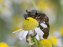 Rose chafer (cetonia aurata) is sitting on flowering chamomile Stock Photography